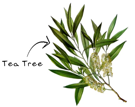 23-Aboriginal Uses for Melaleuca tree or Tea Tree