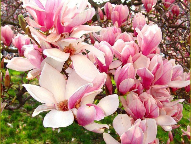 23-Information On Flowering Trees To Help You Buy